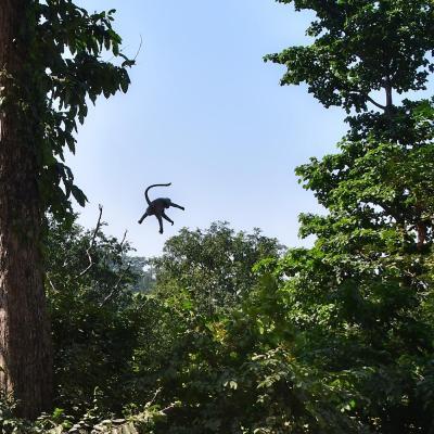 Rishikesh monkey