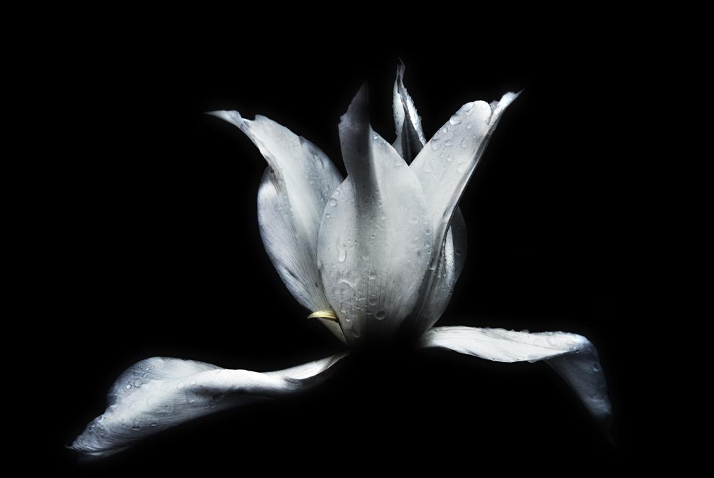 Tulipe après l'averse